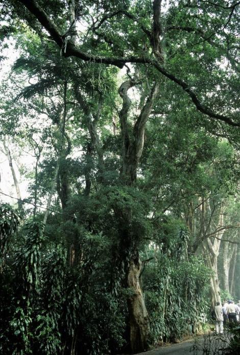 Rio de Janeiro: Brasilholzbaum im Tijuca-Wald (2003)