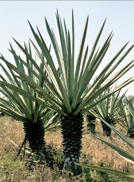 Agaven in Yucatan (1980)