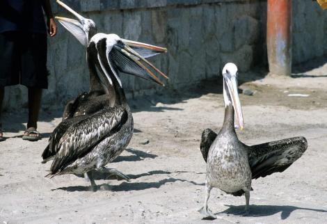 Paracas: Pelikane (2005)