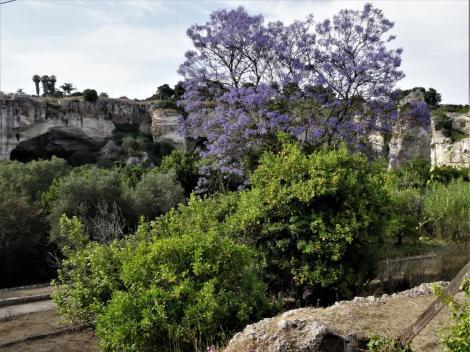 Syrakus: Jacarandabaum bei den Latomien (2018)